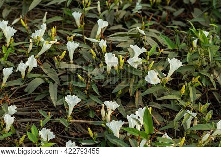 The Bunch Of Field Bindwee Or Fiddle-leaf Morning-glory White Flower On Ground Also Field Bindweed I