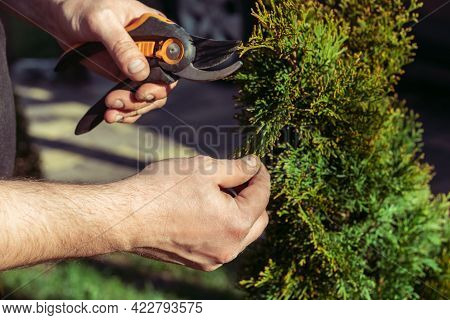 Hands Of Man Who Cuts Thuja Branches With A Pruner In Garden In Sunlight