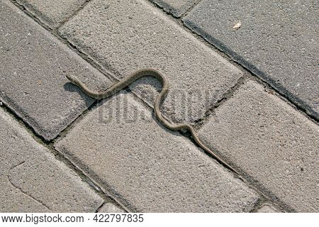 The Snake Is Basking On The Asphalt On The Embankment Of The City. The Viper Is A Venomous Snake Tha