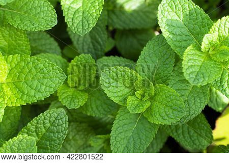 Fresh Mint In The Garden With A Pronounced Green Color. Full Frame, Food Background