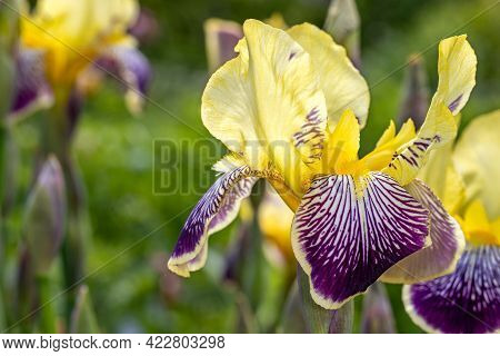 Close-up Of Lilac-yellow Iris Blatant Flower In The Spring Garden. Macro Photography Of Lively Natur