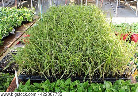 Annual Grasses Growing In Seedling Starter Trays