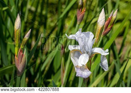 View Of Wild Pastel Lilac Iris Spuria Flower In The Spring Garden. Photography Of Lively Nature.