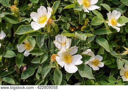 White Wild Rose Flower Aka Rosa Acicularis Or Prickly Wild Rose Or Prickly Rose Or Bristly Rose Or A