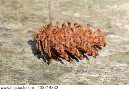 Pinecone - Close Up Of Pinecone Detail. Forest Tree Seeds