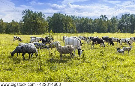 The Flock Of Sheep And Cows Pasturing On Green And Yellow Grass In A Sunny Day