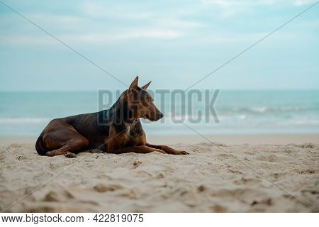 Stray Dog On The Sand Beach. Looking Away. World Pet Day. Clean And Wide Sea Beach As Background