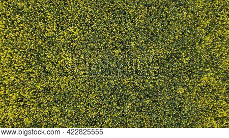 Blooming Rapeseed Field. Agricultural Fields. Yellow Flowers Are Visible. Aerial Photography.
