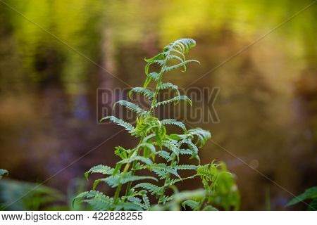 Ferns In The Forest. Beautiful Ferns Leaves Green Foliage. Close Up Of Beautiful Growing Ferns In Th