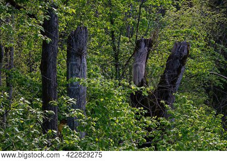 The Cut Tree Trunks In The Green Forest Form A V-shape.