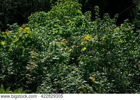 Green Forest Lush With Leaves, Foliage And Bush Texture In Summer Nature