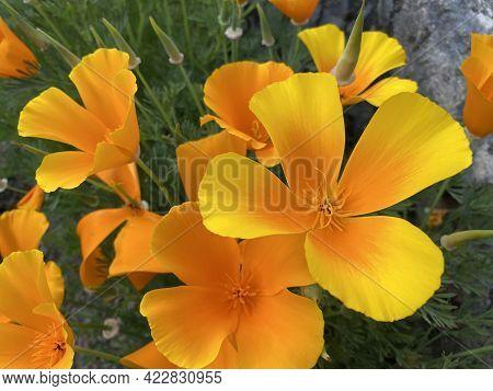 Californian Poppy (eschscholzia Californica), Golden Poppy, California Sunlight, Cup Of Gold, Der Ka
