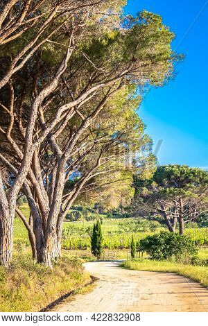 Evening Sunlight On An Avenue Of Pine Trees Along A Track Leading To A Vineyard In Corsica