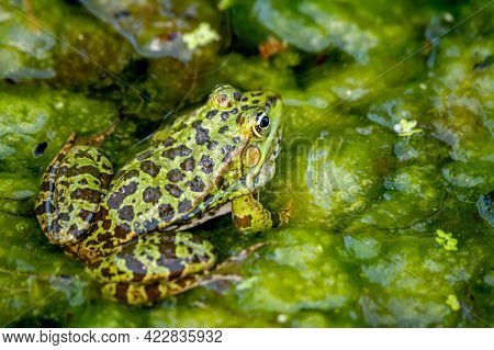 One Pool Frog In Water In Natural Habitat. Pelophylax Lessonae. European Frog. Beauty In Nature.