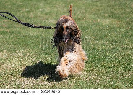 An Afghan Greyhound Is Walking On A Leash