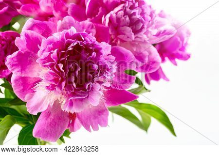 Pink Peony Flowers Close-up, Light Background, Selective Focus. Spring Or Summer Floral Background.