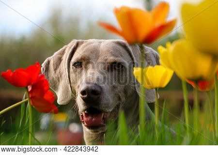 Beautiful Gray Weimaraner Head Portrait Between Colorful Tulips In The Garden