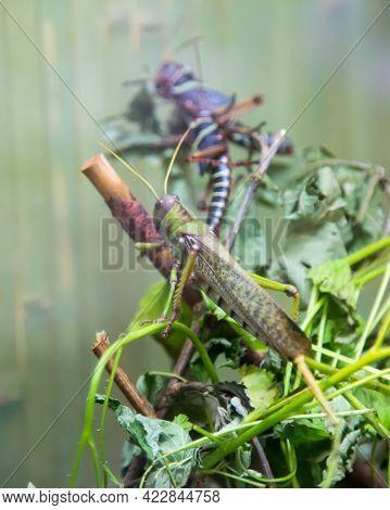 Giant Grasshopper (lat. Giant Grasshopper) Green Sitting On A Branch Of The Plant. Animal World Faun