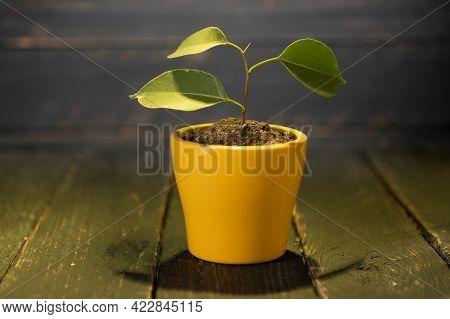 Green Plant In A Yellow Flowerpot. Small Growing Tree. A Tree In A Flowerpot.
