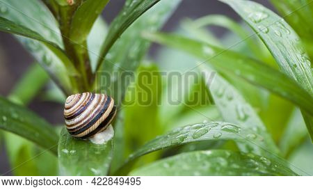 Striped Garden Snail Shell On Green Leaf On Natural Background With Beautiful Bokeh. Small Snail, Gr