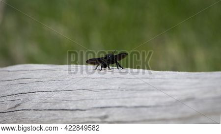Xylocopa Violacea. Black Xylocopa Isolated On Light Background. Bee Carpenter Purple. Sitting On A W