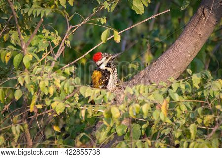 A Beautiful Male Black-rumped Flameback Woodpecker (dinopium Benghalense), Perched On A Tree In The
