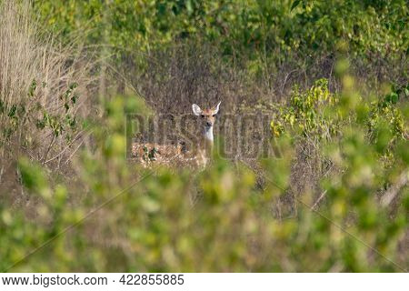 Selective Focus On A Female Spotted Deer (axis Axis), Also Called The Chital And Native To The India