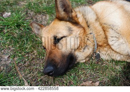 The German Shepherd Is Lying On The Ground. The Dog Is Basking In The Spring Sun. High Angle View