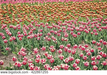 Spring Is Everywhere. Blossoming Tulip Fields. Spring Landscape Park. Country Of Tulip. Beauty Of Bl