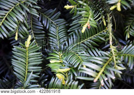 Abstract Pattern Branches Evergreen Shrub,  Background Of Greenery. Close-up. Selective Focus. Copy