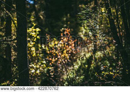 Shrub Of Lingonberry On Bokeh Nature Background Of Multicolor Foliage In Sunshine In Autumn Forest.