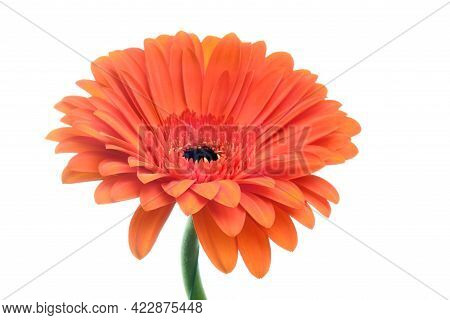 Beautiful Blooming Orange Gerber Daisy Flower Isolated On White Background