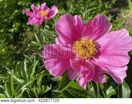 Chinese Herbaceous Peony (paeonia Lactiflora), Common Garden Peony, Milchweisse Pfingstrose, Chinesi