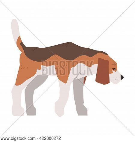 Beagle Dog Pet Animal, Hunting Dog With Brown White Coat And Long Ears Beagle Cartoon Vector Illustr