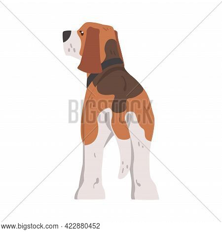 View From Behind Of Cute Beagle Dog Pet Animal, Hunting Dog With Brown White Coat And Long Ears Beag