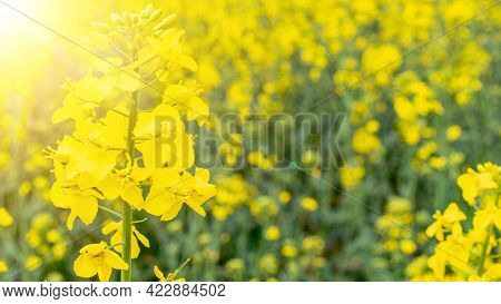 Canola Field. Rapeseed Plant, Colza Rapeseed For Green Energy. Yellow Rape Flower For Healthy Food O