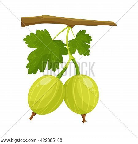 Gooseberry, Agrus Berries With Leaves On White Background, Flat Style Vector