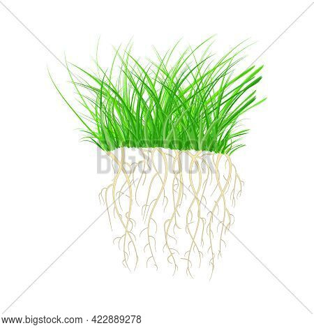 Green Grass With Roots Isolated On White Background. Tuft Shape Of Grass. Nutritious Sprouts. Rooted