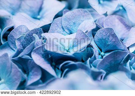 Soft Blue Turquoise Hydrangea Hydrangea Macrophylla Or Hortensia Flower Petals. Shallow Depth Of Fie