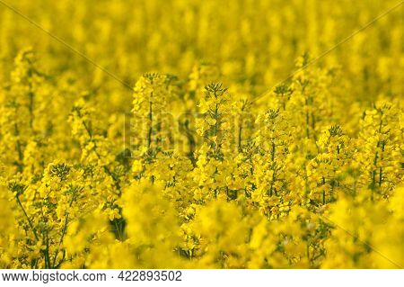 Rape Field In Blossom On Sunny Day. Yellow Rape Flowers Close Up