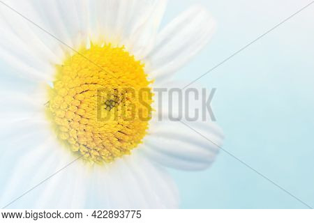 Macro Shooting Of Chamomile With The Texture Of Yellow Stamens On Colored Background