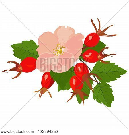 Vector Stock Illustration Of Dog Rose. Red Berries And Green Watercolor Leaves. Large Pink Flower Bu