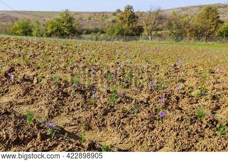 Saffron Field During Flowering. The Period Of Picking Saffron Flowers.