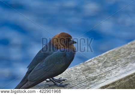 Brown-headed Cowbird Resting On The Fence.    Burnaby Bc Canada