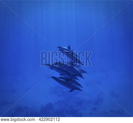 Artistic Underwater Photo Of Wild Spinner Dolphins In The Blue Ocean. From A Scuba Dive In The Red S