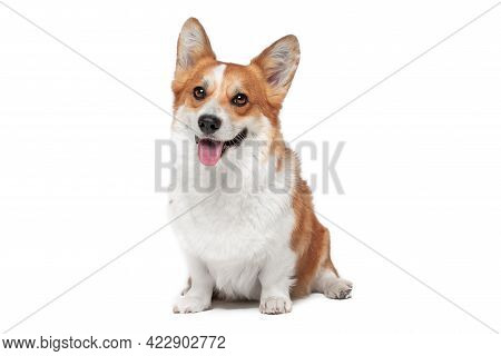 Lovely Welsh Corgi Pembroke Or Cardigan Obediently Sits And Looks Up, Begging For Something From Own