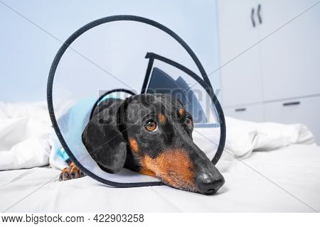 Portrait Of Sad Dachshund Dog In Rehabilitation At Home Or In Hospital Room, After Treatment With Su