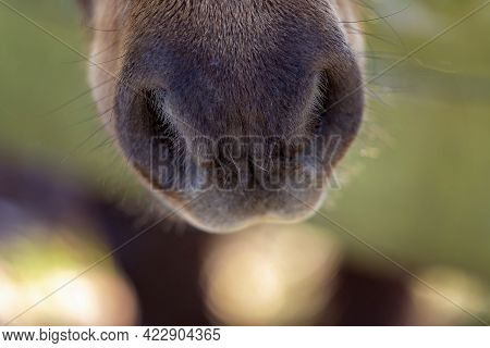 The Nose Of An Inquisitive Miniature Horse In Close Up