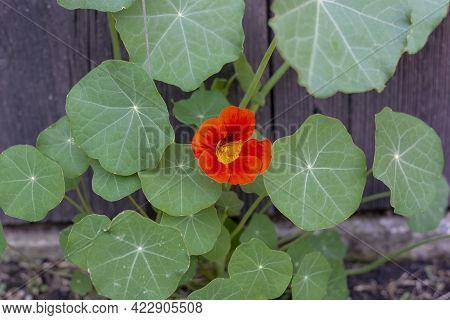 The Garden Nasturtium (tropaeolum Majus) Flowering In The Garden. The Plant Is Also Known As Nasturt