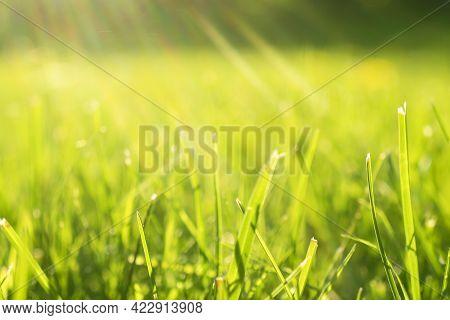 Macro Shot Green Fresh Summer Lawn Grass Background. Close Up View Beautiful Fresh Grass At The Even